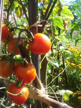 En van eigen compost krijg je heerlijke tomaten