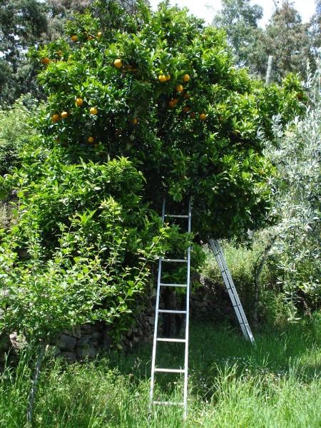 Als toetje eten we sinaasappels uit eigen bomen